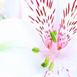Witte Lelie Stock Foto's