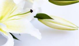 Witte lelie Stock Fotografie
