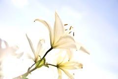 Witte Lelie Stock Foto