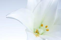 Witte Lelie Royalty-vrije Stock Foto
