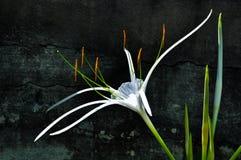 Witte Lelie Crinum Stock Foto
