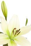 Witte lelie met exemplaarruimte Royalty-vrije Stock Fotografie