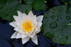 Witte lelie op het water Stock Afbeeldingen