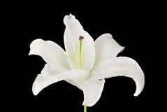 Witte Lelie op Zwarte Achtergrond Royalty-vrije Stock Foto