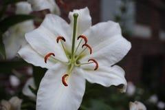 Witte leliebloem Royalty-vrije Stock Afbeeldingen