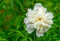 Witte Leliebloem in de recente zomerbloei royalty-vrije stock afbeelding