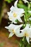Witte leliebloemen Stock Afbeeldingen