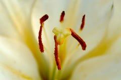 Witte lelieclose-up Royalty-vrije Stock Afbeeldingen