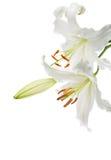Witte lelies Stock Afbeelding