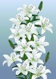 Witte lelies Royalty-vrije Stock Foto