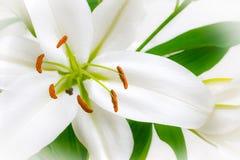 Witte lelies Royalty-vrije Stock Foto's