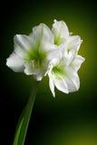 Witte lelies Stock Foto's