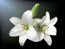 Witte lelies stock illustratie
