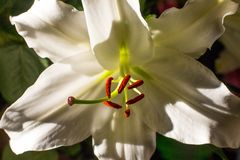 Witte lelies in de tuin leliebloem, mooie lelie, royalty-vrije stock foto