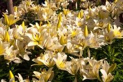 Witte lelies in de de zomertuin Stock Afbeeldingen