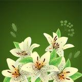 Witte lelies op groene achtergrond Stock Foto