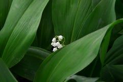 Witte lelietje-van-dalen Bloemen close-up Royalty-vrije Stock Afbeeldingen