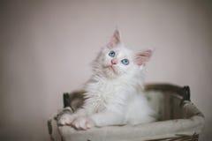 Witte leuke katjeszitting in een rieten mand Royalty-vrije Stock Fotografie