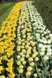 Witte, lichtgele en gele gele narcissen Stock Afbeeldingen