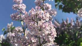 Witte lilac bloemen in de tuin stock footage