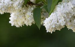 Witte lilac Syringa Stock Afbeelding