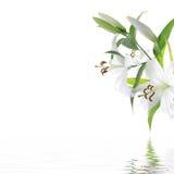 Witte liliumbloem - het ontwerpachtergrond van het KUUROORD Royalty-vrije Stock Afbeeldingen