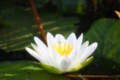 Witte lillie Royalty-vrije Stock Afbeeldingen