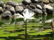 Witte Lilly Royalty-vrije Stock Afbeeldingen