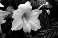 Witte Lily Flower bij tuin Royalty-vrije Stock Afbeeldingen