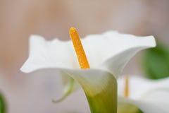 Witte Lily Pistil stock foto's