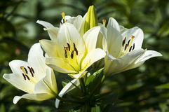 Witte Lily Summer Flowers Stock Afbeelding