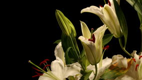 Witte Lily Timelapse Stock Foto's