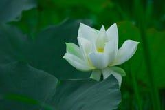 Witte Lotus en dauwdalingen in de ochtend stock afbeeldingen