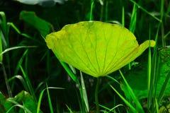 Witte Lotus en dauwdalingen in de ochtend royalty-vrije stock foto