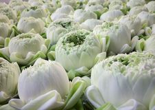 Witte Lotus-mooie bloem royalty-vrije stock foto's