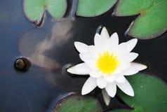 Witte lotusbloem Stock Afbeelding