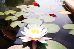 Witte lotusbloem Royalty-vrije Stock Foto