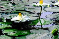 Witte lotusbloem Royalty-vrije Stock Foto's