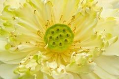 Witte lotusbloem. Royalty-vrije Stock Fotografie