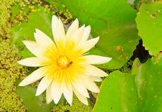 Witte lotusbloem Stock Afbeeldingen