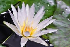 Witte lotusbloem Royalty-vrije Stock Afbeelding
