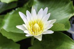 Witte lotusbloem in de vijver Royalty-vrije Stock Foto