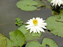 Witte lotusbloem die in het ochtendlicht bloeien met zijn groot groen weiland Royalty-vrije Stock Afbeeldingen