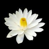 Witte lotusbloem die op zwarte achtergrond wordt geïsoleerd Stock Afbeelding