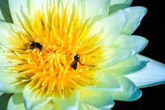 Witte lotusbloem en bijen Stock Foto