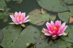 Witte lotusbloem en leliestootkussens Royalty-vrije Stock Fotografie