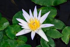 Witte lotusbloem Nymphaea ` Daubenyana ` Stock Fotografie