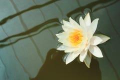 Witte lotusbloem op donkere achtergrond Royalty-vrije Stock Foto's