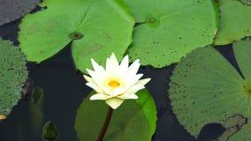 Witte lotusbloem op rivier stock footage