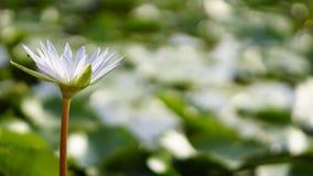 Witte lotusbloem, stroomversnellinglelie in tuin Stock Afbeelding
